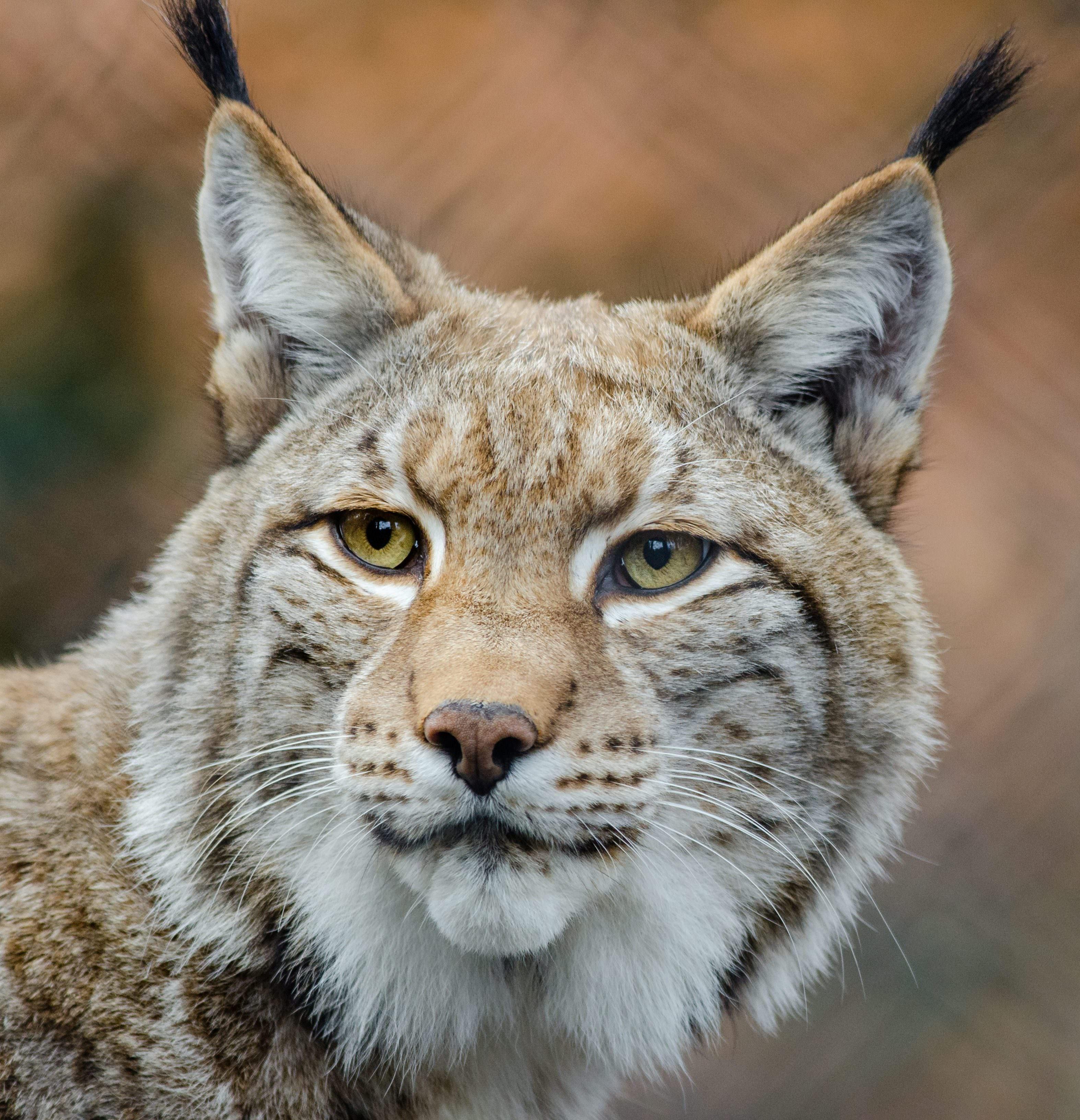 bobcat close up